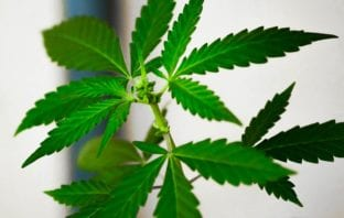 """Tipping the Scale of Marijuana Reform and """"Descheduling"""""""